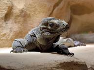 Il Parco delle Cornelle inaugura il rettilario: c'è anche l'Iguana rinoceronte